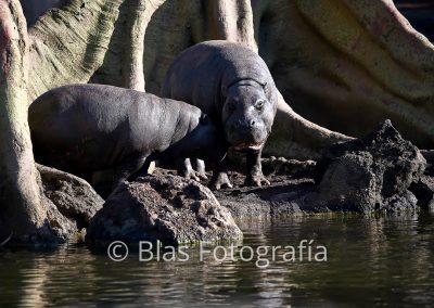 hipopotamo pigmeo