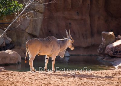 Kudu mayor