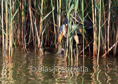 Ardea purpurea (pescando)