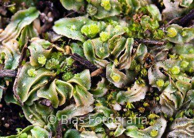 Corsinia coriandrina