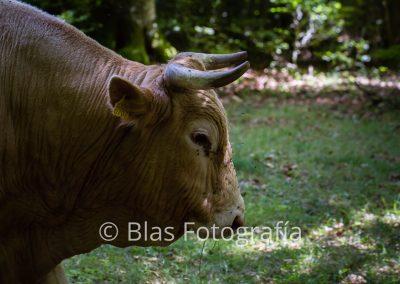 Toro pastando en Selva de Irati