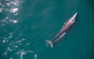 Los drones llevan el estudio de las ballenas a otro nivel