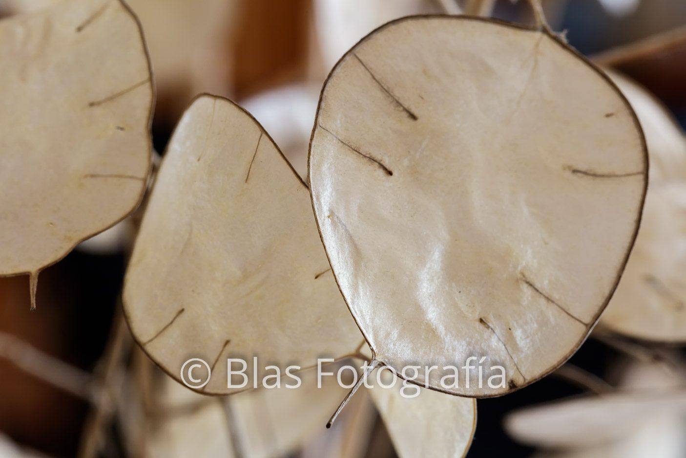 Frutos de Lunaria annua