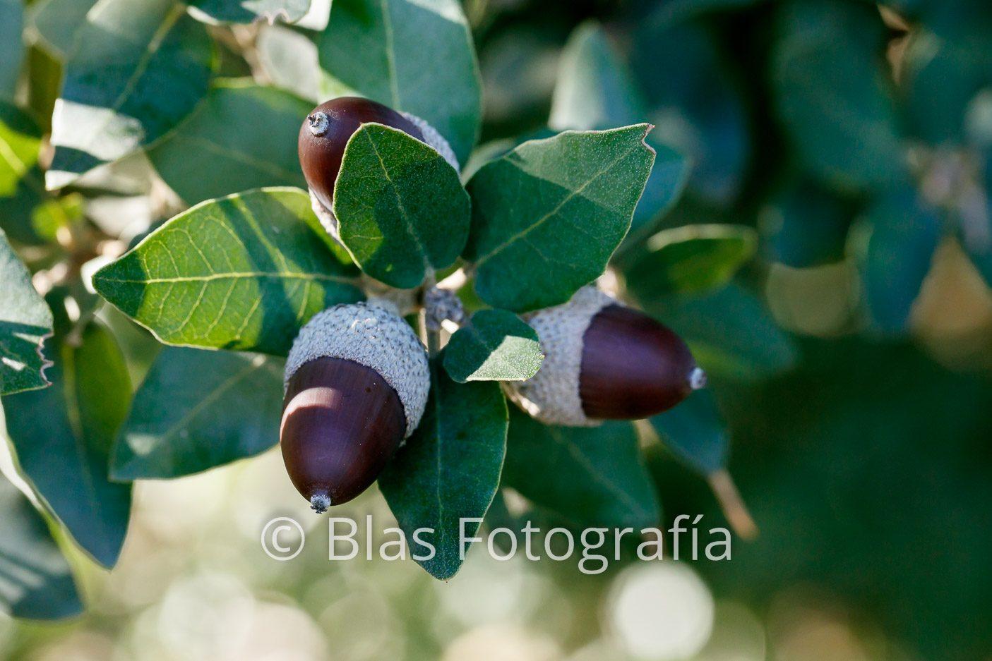 Bellotas de Quercus ilex