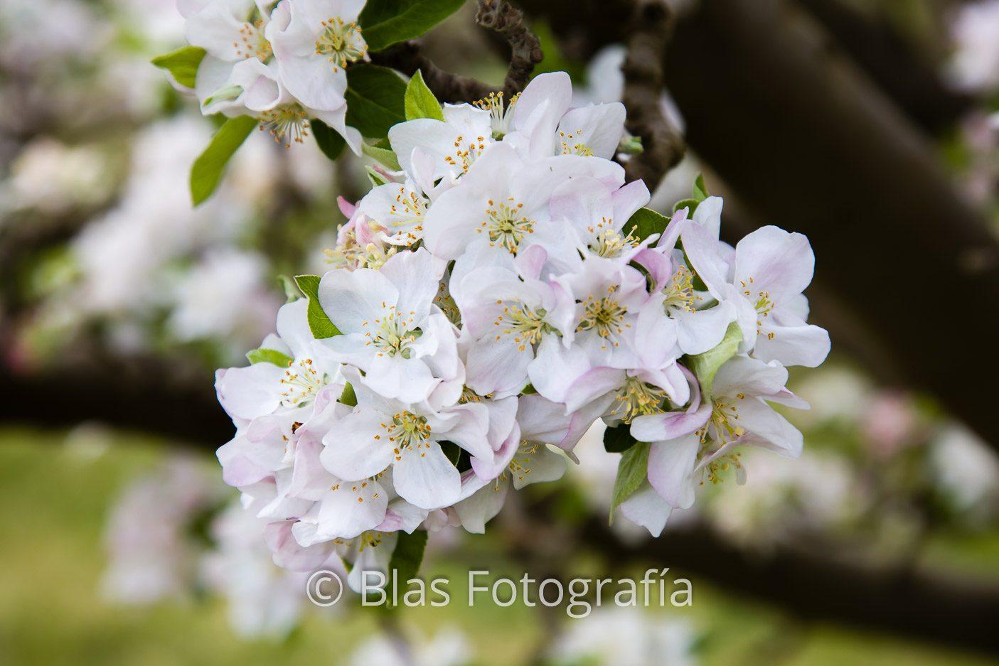 Flores de Malus domestica