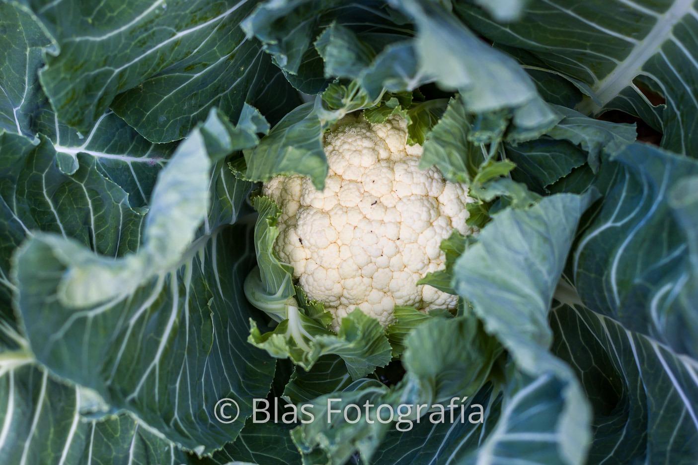 Brassica oleracea var. botrytis