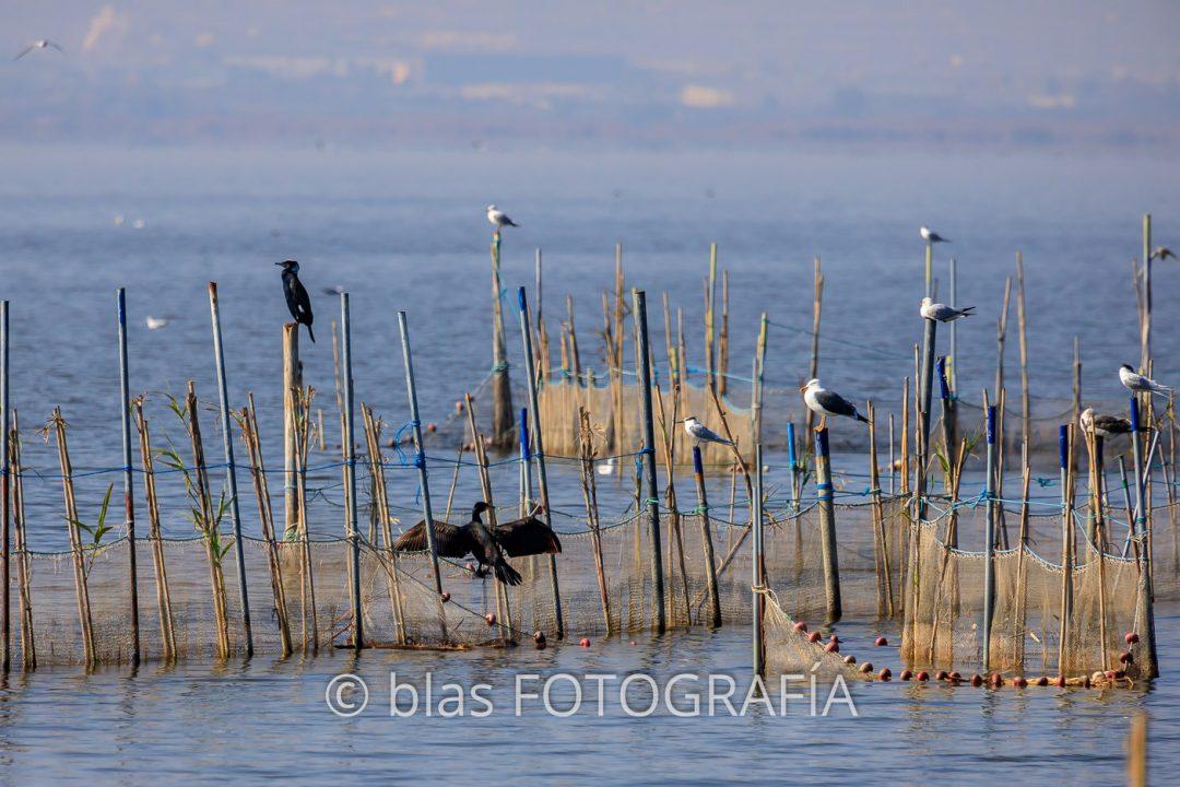Cormoranes en La Albufera